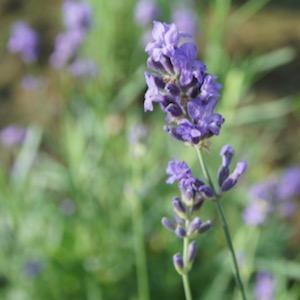 Lavendelbloem de Gerdeneer